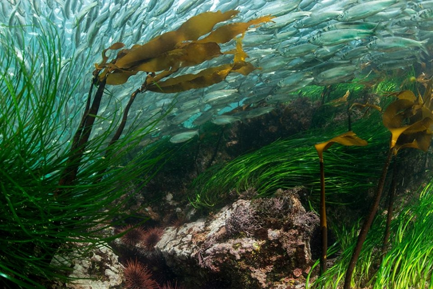 Pacific herring Great Bear Sea - Tavish Campbell, Pacific Wild