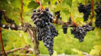 Okanagan Bordeaux grapes - Mychaylo Prystupa