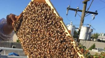 Bees in the VPD community garden