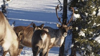Government acting to save endangered caribou